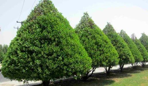 یک درخت، متهم اصلی مسائل تنفسی مردم خوزستان