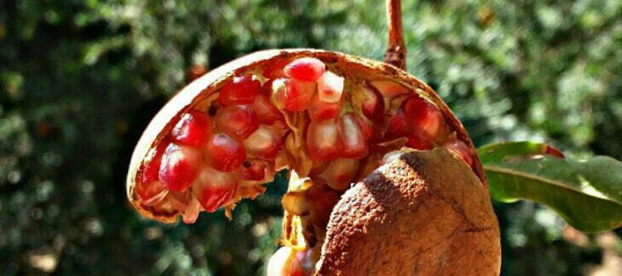 تصاویر کوچه باغ های تفت در روزهای آغازین پاییز ، انارهای پاییزی را در سفر به یزد از دست ندهید