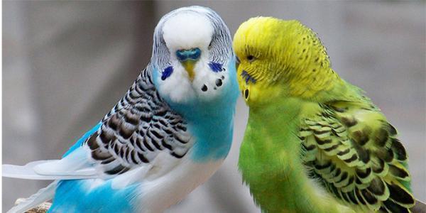 آشنایی با زمان و نحوه جفت گیری مرغ عشق