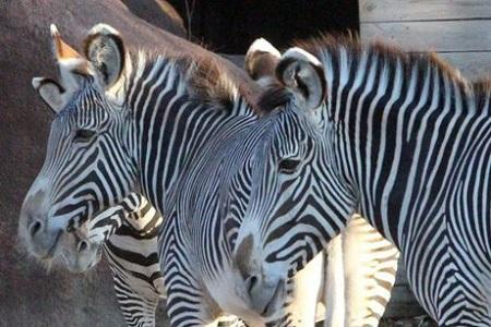 شرح باغ وحش صفادشت درباره مرگ گورخر آفریقایی