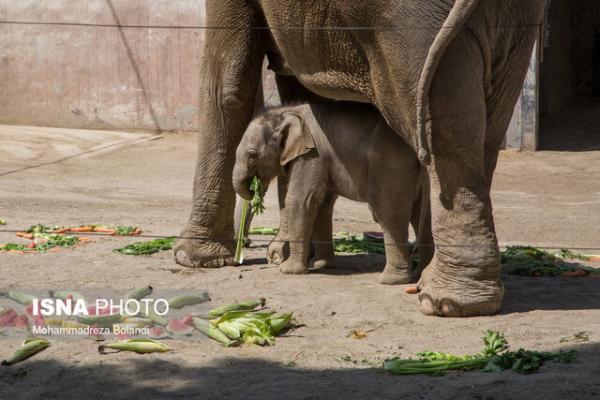 بچه فیل ارم مایسا نامیده شد، توسعه و بهسازی صندلی فیل در آینده نزدیک