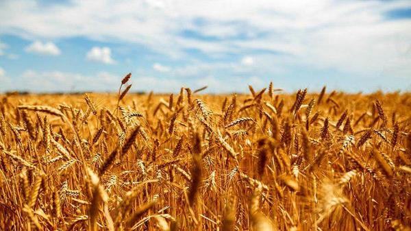 پرداخت 98 درصد از مطالبات کشاورزان گندمکار خوزستانی